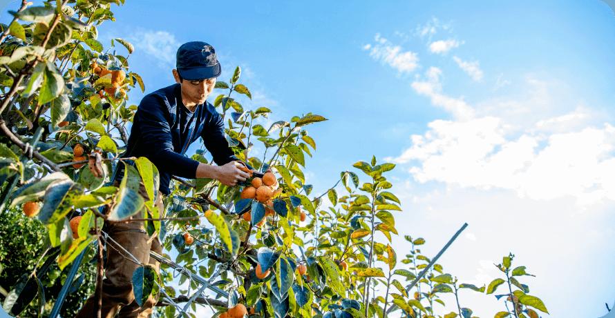 柿狩りの様子